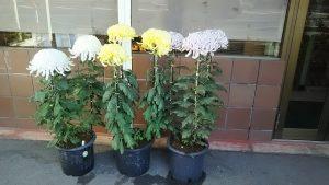 クリニックの前に飾られた菊の花