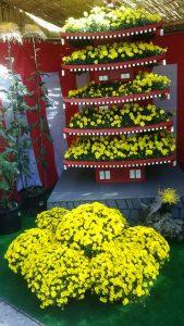 大正大学の菊の花の写真