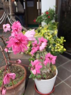クリニックの前の花桃