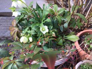 クリスマスローズの花